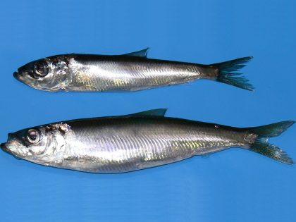 What we know about the current condition of herring